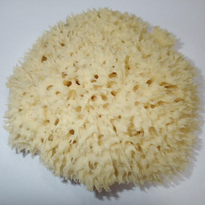 Moøská houba Honeycomb 14-15 cm - zvìtšit obrázek